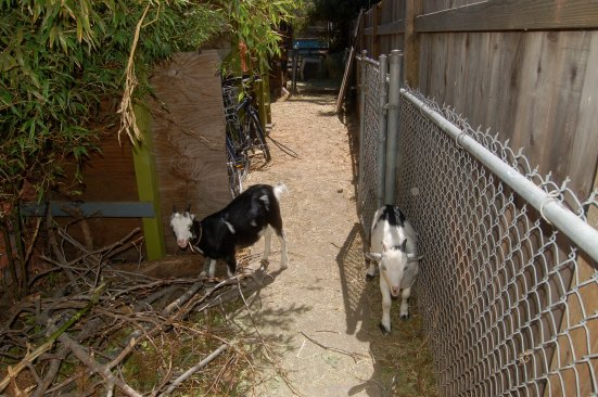 Ghetto Goats