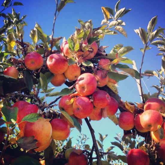Twin Hill Ranch apples